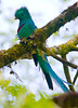 Resplendent_Quetzal_Los_Quetzales0020
