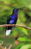 Violet_Sabrewing_Hummingbird_Los_Quetzales0010