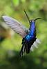 Violet_Sabrewing_Hummingbird_Los_Quetzales0007