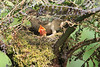 Mountain_Robin_With_Chick_Los_Quetzales0010