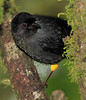 Yellow_Thighed_Finch_Los_Quetzales0003