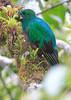 Resplendent_Quetzal_Los_Quetzales0011