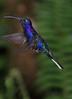 Violet_Sabrewing_Hummingbird_Los_Quetzales0001