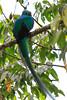 Resplendent_Quetzal_Los_Quetzales0002