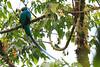 Resplendent_Quetzal_Los_Quetzales0004
