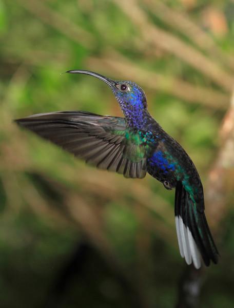 Violet_Sabrewing_Hummingbird_Los_Quetzales0009