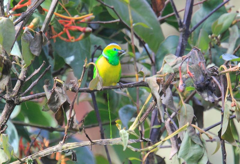 Golden-browed_Chlorophonia_Los_Quetzales0029