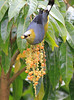 Long_Tailed_Silky_Flycatcher_Los_Quetzales0005