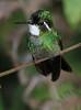 White_Throated-Mountaingem_Hummingbird_Los_Quetzales0008