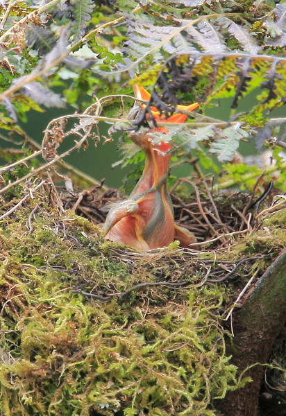 Mountain_Robin_With_Chick_Los_Quetzales0019
