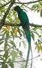 Resplendent_Quetzal_Los_Quetzales_Ecolodge0015