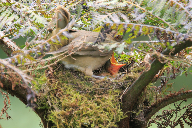 Mountain_Robin_With_Chick_Los_Quetzales0018
