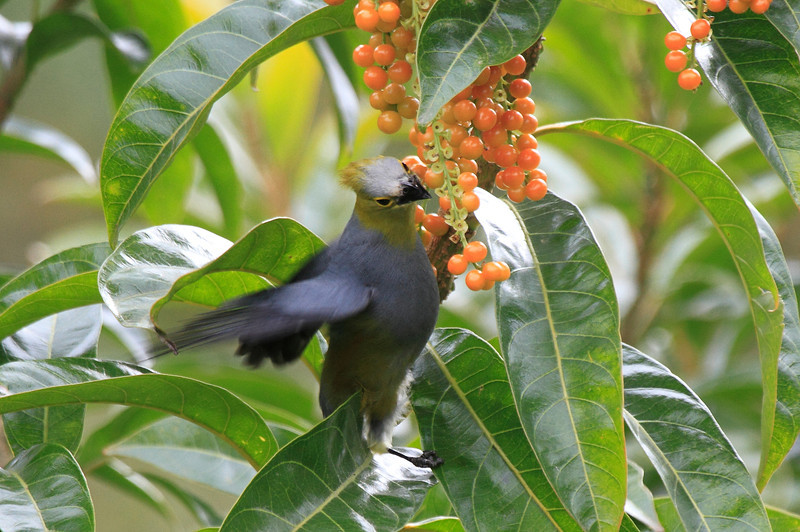 Long_Tailed_Silky_Flycatcher_Los_Quetzales0002