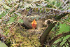 Mountain_Robin_With_Chick_Los_Quetzales0014