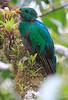 Resplendent_Quetzal_Los_Quetzales0010