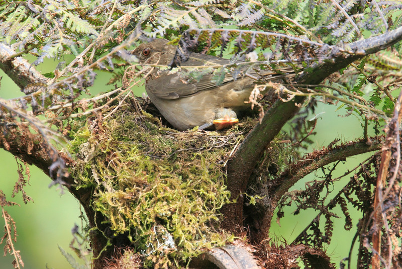 Mountain_Robin_With_Chick_Los_Quetzales0013
