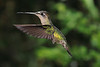 Striped-tailed_Hummingbird_Los_Quetzales0037
