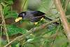 Yellow_Thighed_Finch_Los_Quetzales0001