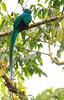 Resplendent_Quetzal_Los_Quetzales0006
