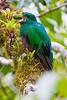Resplendent_Quetzal_Los_Quetzales0009