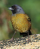 Large-footed_Finch_Los_Quetzales