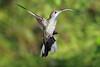 Violet_Sabrewing_Hummingbird_Los_Quetzales0008