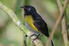 Black-and-Yellow_Silky_flytcather_Los_Quetzales0022
