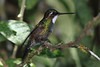 White_Throated-Mountaingem_Hummingbird_Los_Quetzales0006