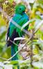 Resplendent_Quetzal_Los_Quetzales0016