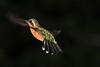 White_Throated-Mountaingem_Hummingbird_Los_Quetzales0012