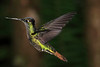 Striped-tailed_Hummingbird_Los_Quetzales0033