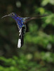 Violet_Sabrewing_Hummingbird_Los_Quetzales0012