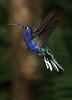 Violet_Sabrewing_Hummingbird_Los_Quetzales0004