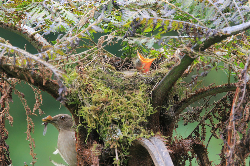 Mountain_Robin_With_Chick_Los_Quetzales0023