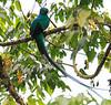 Resplendent_Quetzal_Los_Quetzales0001