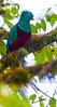 Resplendent_Quetzal_Los_Quetzales0021