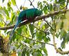 Resplendent_Quetzal_Los_Quetzales0007