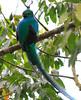 Resplendent_Quetzal_Los_Quetzales0003