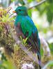 Resplendent_Quetzal_Los_Quetzales0008