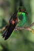 Striped-tailed_Hummingbird_Los_Quetzales0031