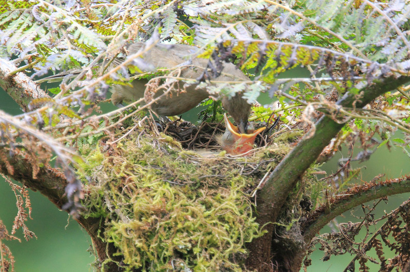 Mountain_Robin_With_Chick_Los_Quetzales0024