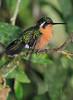 White_Throated-Mountaingem_Hummingbird_Los_Quetzales0011