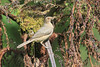 Mountain_Robin_With_Chick_Los_Quetzales0001