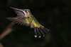 Striped-tailed_Hummingbird_Los_Quetzales0036