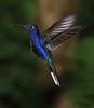 Violet_Sabrewing_Hummingbird_Los_Quetzales0003