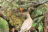 Mountain_Robin_With_Chick_Los_Quetzales0012