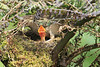 Mountain_Robin_With_Chick_Los_Quetzales0009