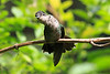 Striped-tailed_Hummingbird_Los_Quetzales0034
