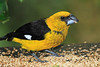 Black-thighed_Grosbeak_Los_Quetzales0021