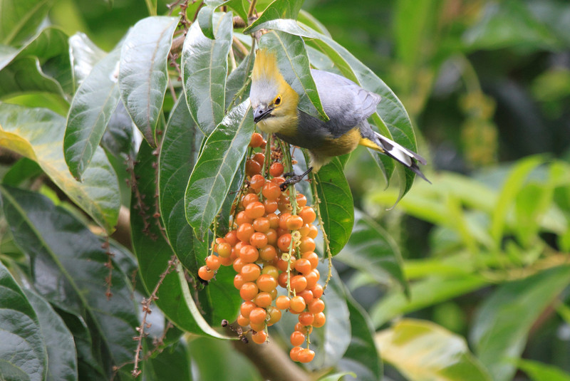 Long_Tailed_Silky_Flycatcher_Los_Quetzales0006